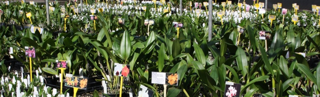 Buy Quality, Healthy, Well Established Orchids Online